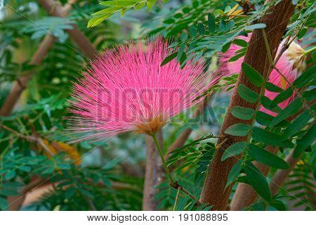 Surinam Powderpuff Flower
