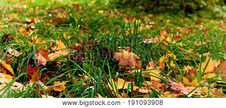 Various Maple Leafs in Green Grass Outdoors as Full Frame. Selective Focus