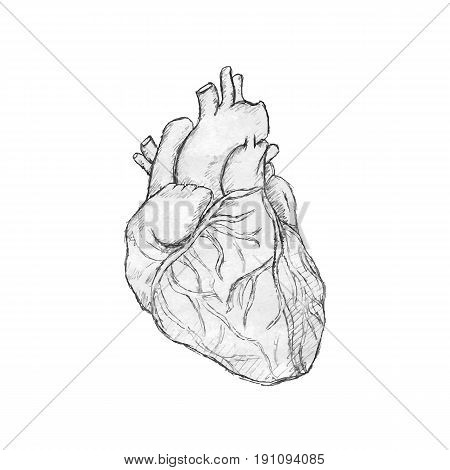 Hand drawn human heart. Anatomy doodle. Black and white vector illustration