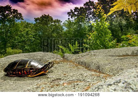 An Eastern Painted Turtle searching the uplands for a place to lay eggs.