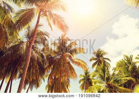 Coconut palm trees perspective view as background