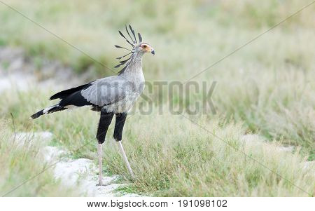 Sub - adult Secretary Bird in the Savuti area of Chobe National Park in Botswana