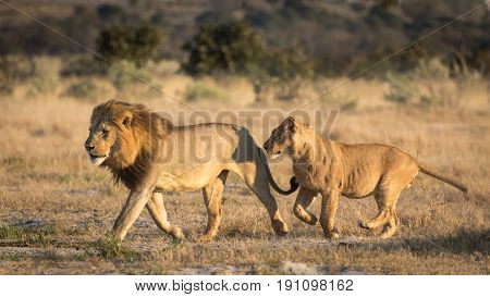 Adult male Lion running with a sub adult male following in the Savuti area of Botswana
