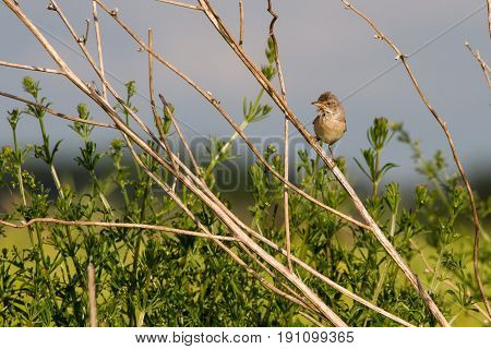 Common Whitethroat (sylvia Communis) Perched On Branch In Farmland