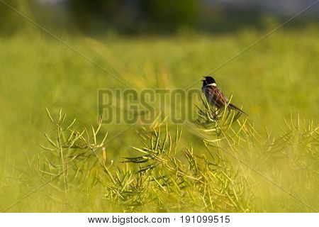 Reed Bunting (emberiza Schoeniclus) Perched In Rapeseed Field