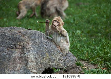 Barbary macaque (Macaca sylvanus), also known as the maggot.