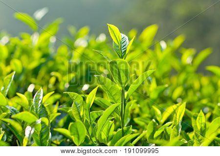 Green Tea On Blurred Background