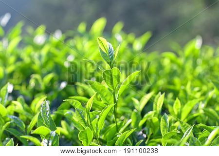Green Tea Close Up On Blurred Background