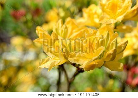 Yellow Rhododendron flowers. Horizontal image with copy space