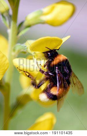 Bumblebee (Bombus lucorum) on yellow flower (Lathyrus davidii).