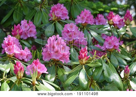 Pink flowers of Rhododendron vernicosum on early summer.