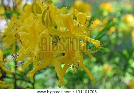 Yellow flowers of Rhododendron luteum. Also known as yellow or honeysuckle azalea.
