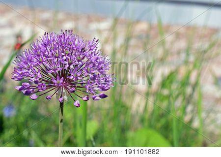 Allium aflatunense purple flower. Horizontal image with room for text.