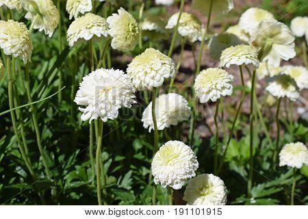 Anemone sylvestris plena, a beautiful white flower.