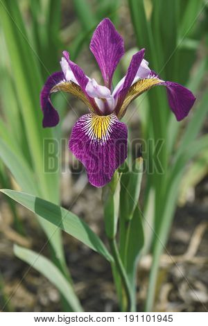 John Wood Blue Flag iris (Iris versicolor John Wood). Called Dagger flower Water iris and Liver lily also
