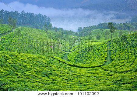 Tea Plantation In Munnar, Kerala, South India