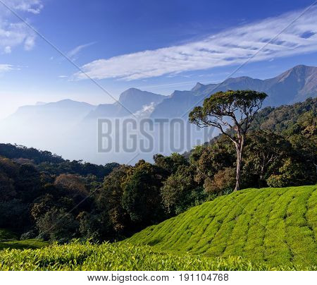 Tea Plantation In Kerala, South India