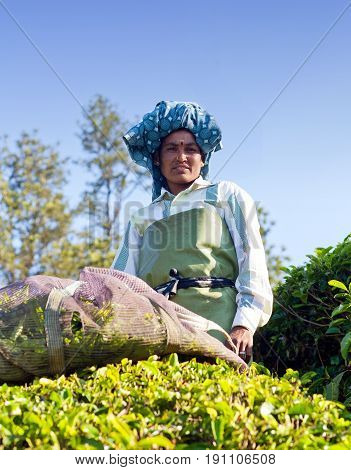 MUNNAR, INDIA - JANUARY 18, 2016: Female tea picker working in tea plantation in Munnar, Kerala, South India. Only uppermost leaves are collected and workers collect daily up to 30 kilos of leaves.