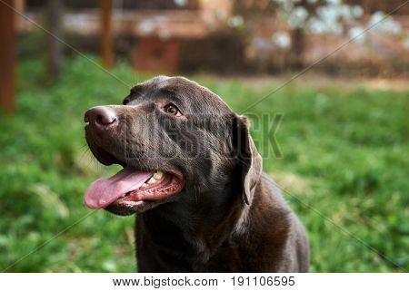A dog, a labrador dog walks in a park, a labrador with a tongue hanging out.