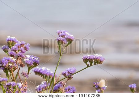 Purple Sea Lavender Wildflowers, With Blurry Seashore In The Background.