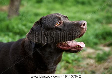 Dog labrador, black dog, labrador stuck out his tongue.