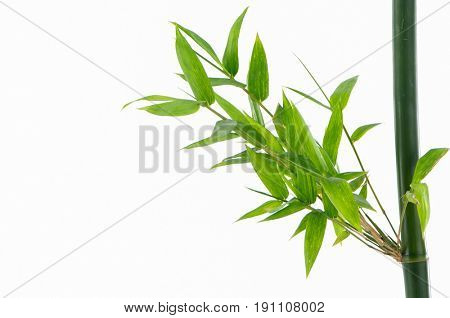 Bamboo leaves, isolated on white background. Fresh, green bamboo-leaves