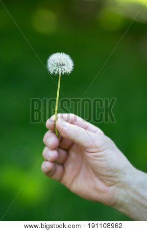 Dandelion flower over vivid green grass background. Man holding white dandelion ready to blow. Summer dandelion in man's hand against nature park outdoor.