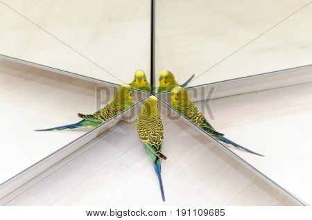 Budgie Look In The Mirror On Many Reflections
