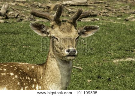 Headshot of a Sika Deer with blurred out background.