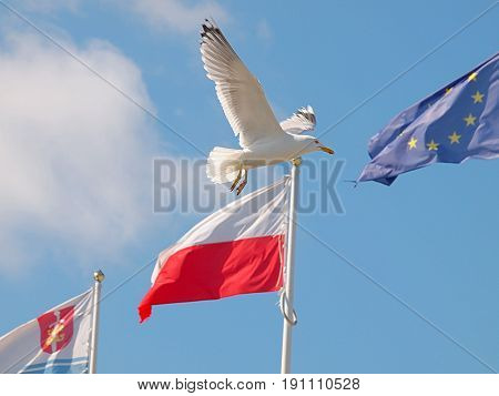 Gdynia, Poland - June 11, 2017 White Seagull flies next to the European Union flag in the port of Gdynia.