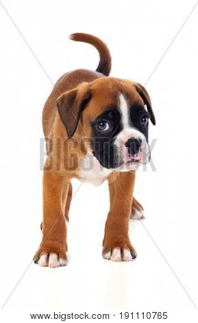 Portrait of a adorable boxer puppy on a isolated white background