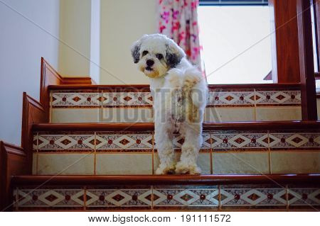 Shih Tzu dog walking up the stairs