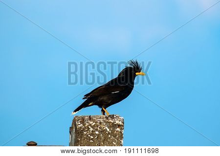 Starlings bird or White-vented Myna or Acridotheres grandis on the post with blue sky