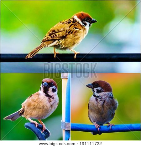 Collage of three action of Eurasian tree sparrow bird songbird perching on the cable wire with green natural background