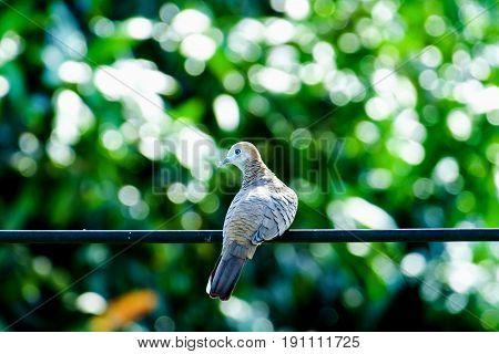 Zebra Dove (Geopelia striata) bird on the wire with green natural background