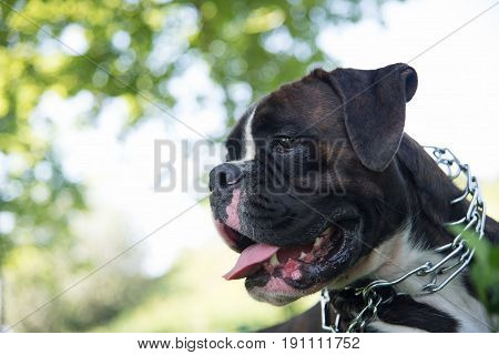 Funny Brindle Boxer On Nature Background With Strict Collar