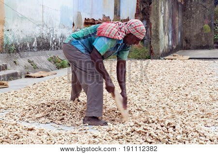 COCHIN, INDIA - JANUARY 22, 2016: Ginger workers laying out ginger into piles at old ginger factory in Fort Cochin, Kerala, South India.