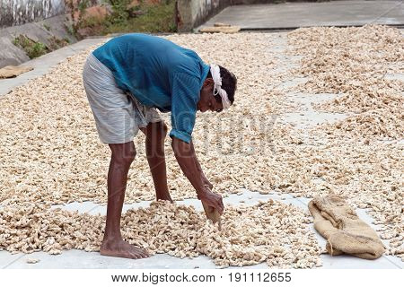 Ginger Workers Laying Out Ginger Into Piles At Old Ginger Factory In Fort Cochin, India.