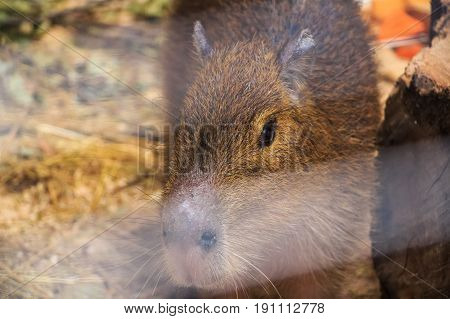 Capybara or Hydrochoerus hydrochaeris behind glass in zoo