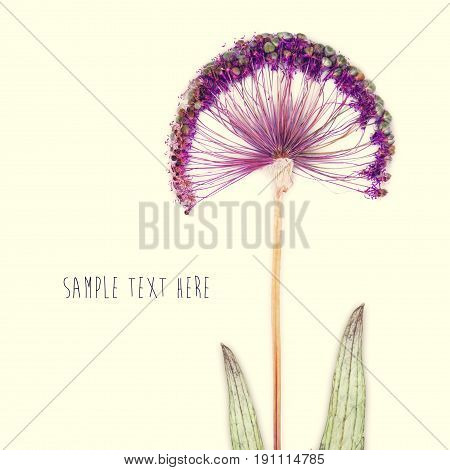 Pressed and dried flower isolated on green background. For use in scrapbooking floristry or herbarium.