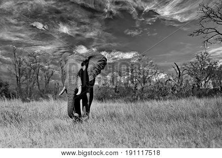 Large Bull Elephant walking across the African Plains with a cloudscape background in Mashonaland National Park, Zimbabwe