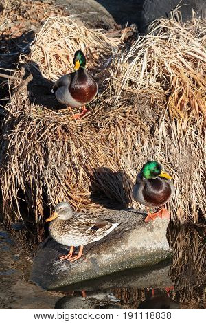 Two Mallard Drakes and a Mallard Hen together in dried grass along the side of a creek.