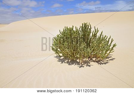 A desert plant on the dunes of sand with bue sky in the background on a windy day