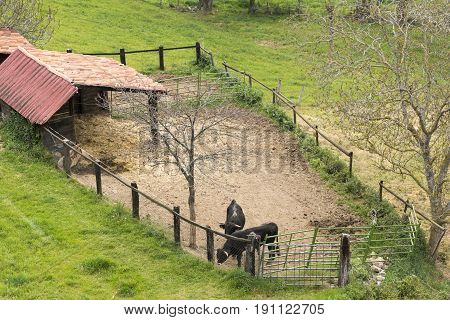Two bulls in a cattle runch in cantabria