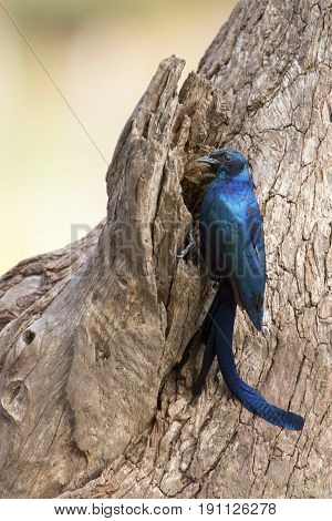 Meves's Longtailed Starling sitting on the side of a tree