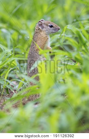 Tree squirrel sitting in wet green grass on the ground