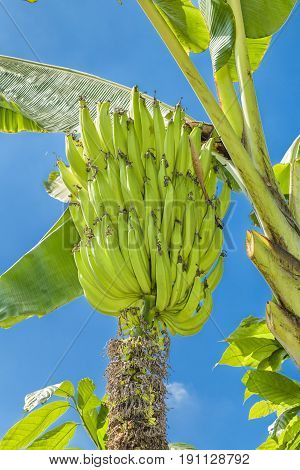 Low angle view of banana plantation at farmer location in the coast of Ecuador