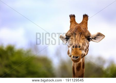 Front on view of a giraffe against green foliage and blue sky background. Space for text.