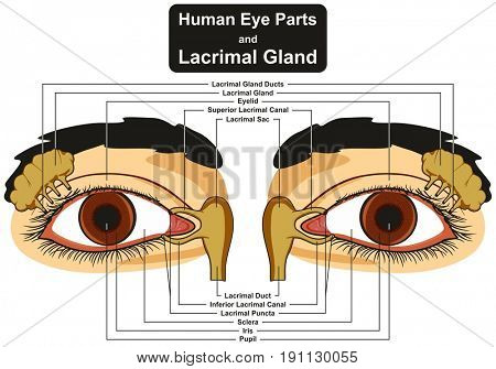 Human Eye Parts and Lacrimal Gland infographic diagram including pupil iris sclera canal duct sac eyelid for medical science education and health care
