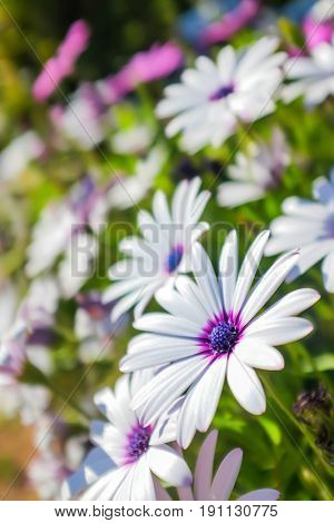 Flowery background of white and purple daisies under sunlight
